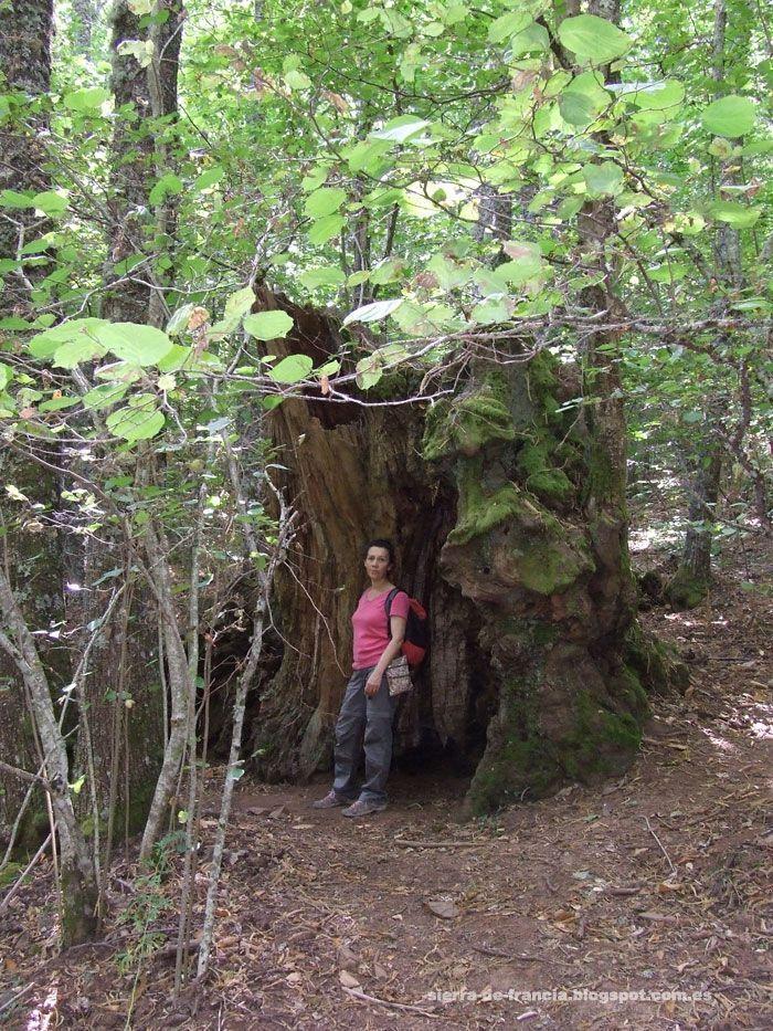 Bosque de la Honfría, castaño centenario